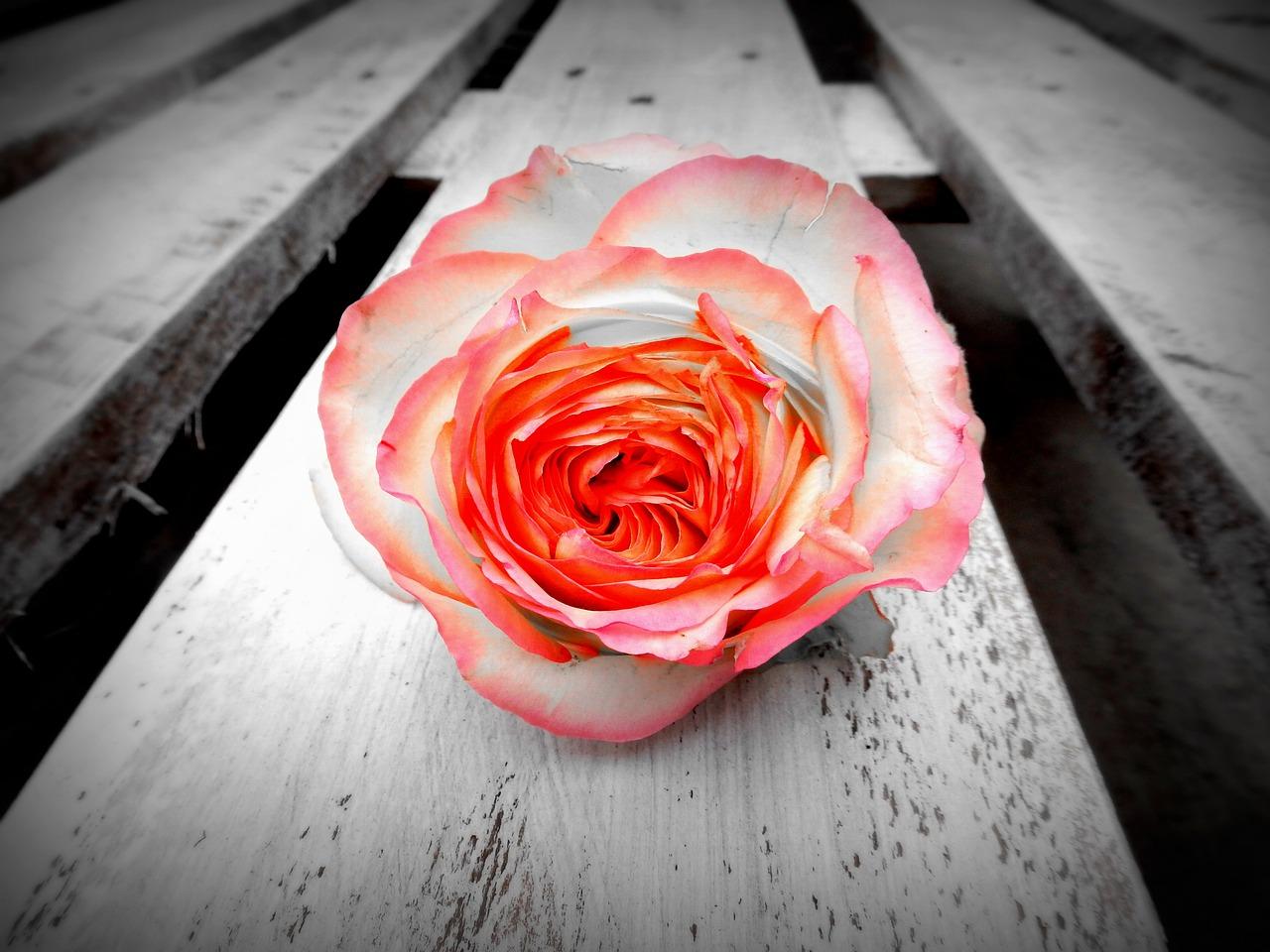 rose-1120568_1280