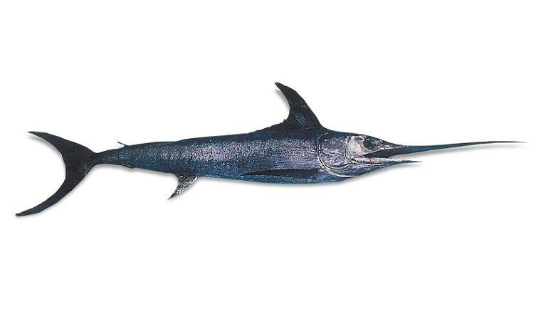 swordfish - makanan berbahaya untuk ibu hamil4